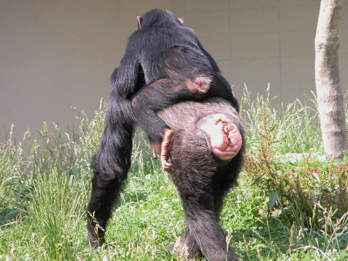 チンパンジー 握力