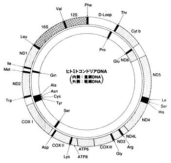 ミトコンドリア 遺伝子